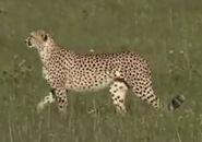 HugoSafari - Cheetah03