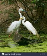 Male and Female Egrets