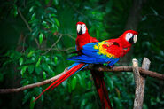 Male and Female Scarlet Macaws
