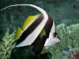 Pennart Coralfish