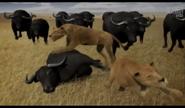 UTAUC Buffalos