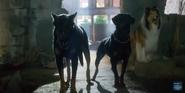 Zoo 2015 Dogs