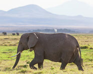 African-elephant-and-cattle-egret-robert-selin