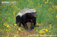 Badger, Honey