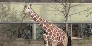 Birmingham Zoo Giraffe