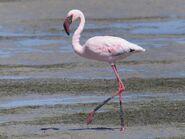 Flamingo, Lesser