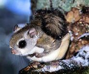 Flying Squirrel, Southern