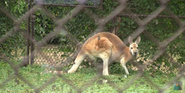 Henry Vilas Zoo Kangaroo