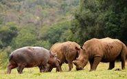 Hyraxes Hippos Rhinos Whales Pigs