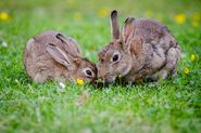 Male and Female European Rabbits