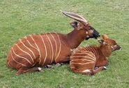 Male and female lowland bongos