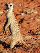 Meerkat (V2)
