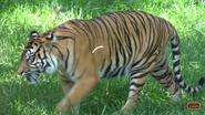Nashville Zoo TigerV2