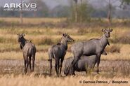 Nilgai-males-in-habitat