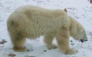 Philedelphia Zoo Polar Bear