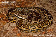 Python, African Rock.jpg