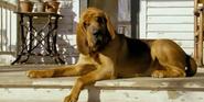 Racing Stripes Bloondhound