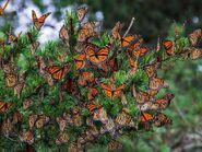Roost of Monarch Butterflies