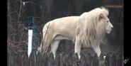 Toledo Zoo Lion