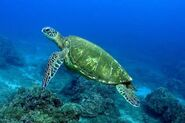 Turtle, Green Sea