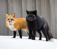 7sriz-red-and-silver-fox-pair