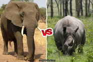 African Bush Elephant vs White Rhinoceros