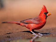 Cardinal, Northern (V2)