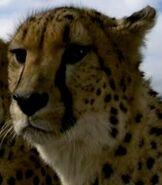 Cheetah (Elephant Tales)