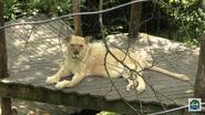 Cincinnati Zoo White Transvaal Lioness