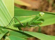 European Mantis.jpg