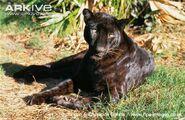 Indian-leopard-black-morph