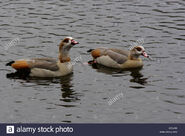 Male and Female Egyptian Geese