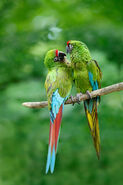 Male and Female Military Macaws