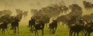 SRNGTI Wildebeests