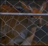 Scout's Safari Antelope 2