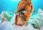 Small-aggreggation-of-queen-conch-off-cat-island-bahamas-shane-gross--natureplcom