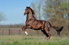 Thoroughbred-horse.jpg