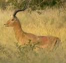 Zoboomafoo Impala