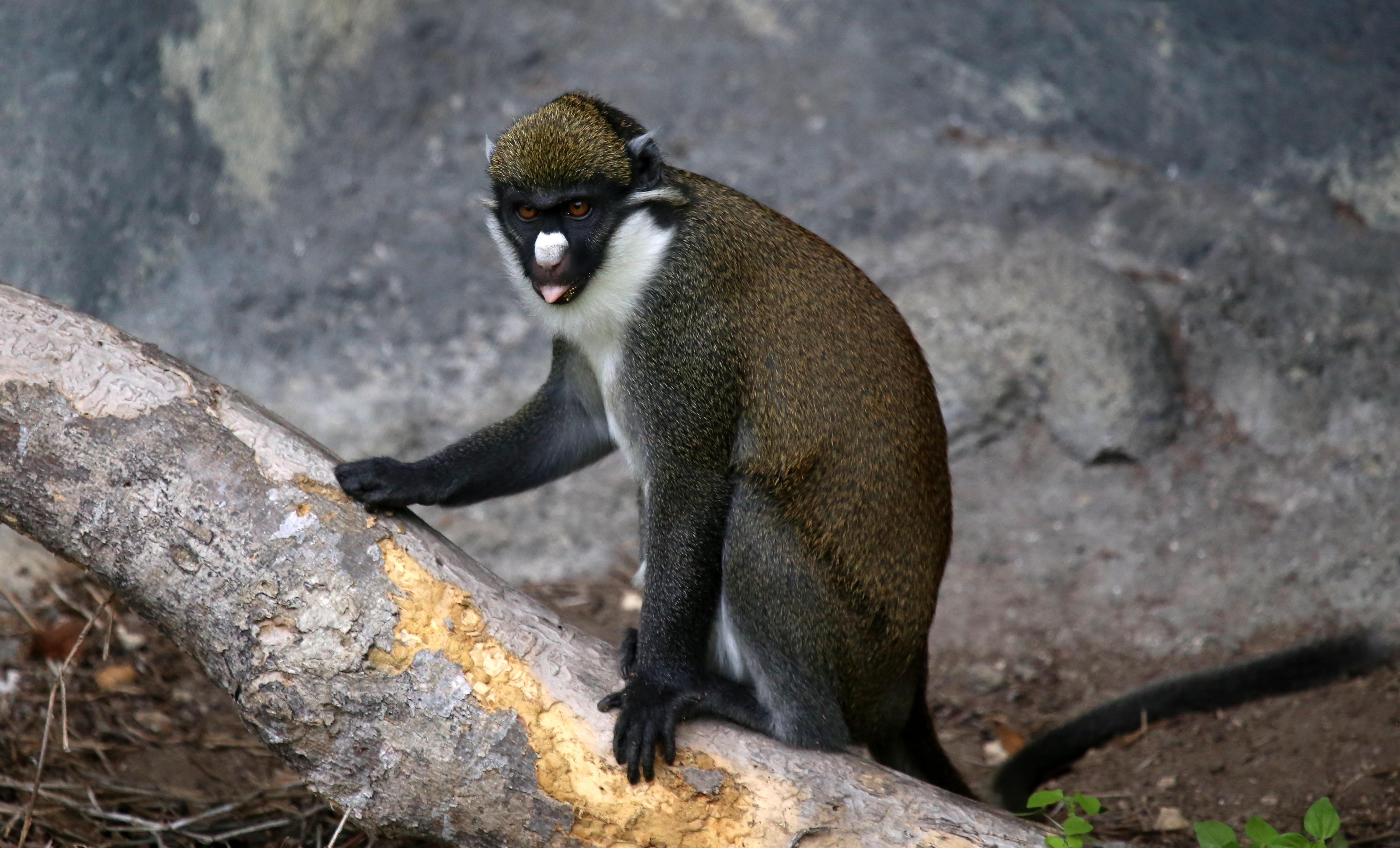 Lesser Spot-Nosed Monkey
