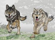 Armbruster's wolf