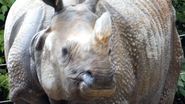 Cincinnati Zoo Indian Rhino (V2)