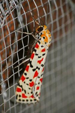 Crimson-speckled Footman .jpg