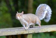 Grey Squirrel, Eastern