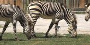 Knoxville Zoo Mountain Zebras