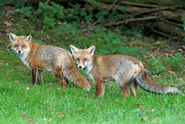 Male and Female European Red Foxes