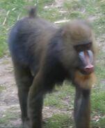 Mandrill oregon zoo