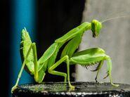 Mantis, European