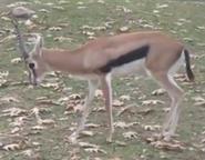 Milwaukee County Zoo Gazelle