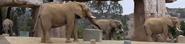 San Diego Zoo Safari Park Elephants