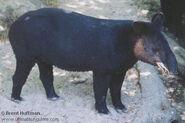 Tapir, Mountain (V2)